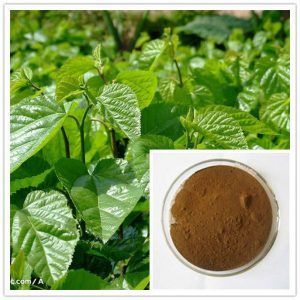 Natural Healing Room - Mulberry Leaf Extract 4:1 (5 Grams)