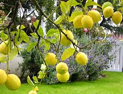 Natural Healing Room - Lemon Essential Oil