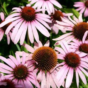 Natural Healing Room - Echinacea Angustifolia