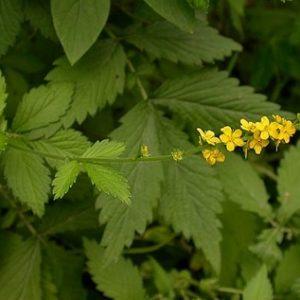 Natural Healing Room - Agrimony (Agrimonia eupatoria)