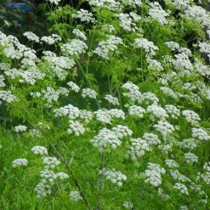 Natural Healing Room - Angelica Root (Angelica officinalis)