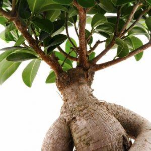 Natural Healing Room - Ashwagandha Root (Withania somnifera)