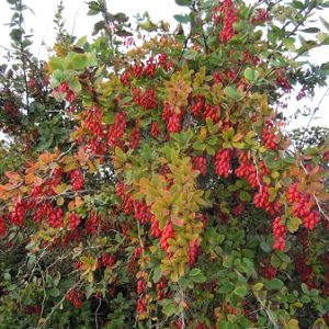 Natural Healing Room - Barberry Root (Berberis vulgaris)