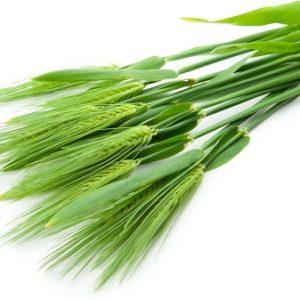 Natural Healing Room - Barley Grass (Hordeum vulgare)