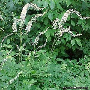 Natural Healing Room - Black Cohosh Root (Cimicifuga racemosa)