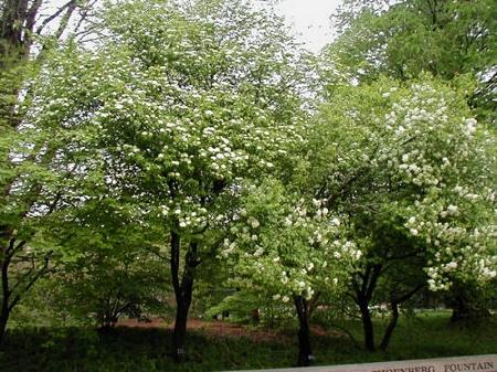 Natural Healing Room - Black haw tree bark (Viburnum Prunifolium)