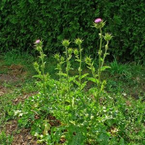 Natural Healing Room - Blessed Thistle (Cnicus benedicus)