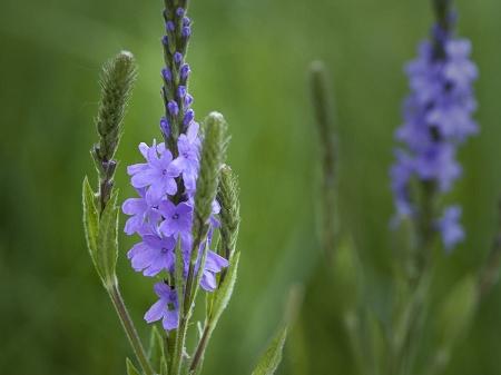 Natural Healing Room - Blue Vervain (Verbana hastata)