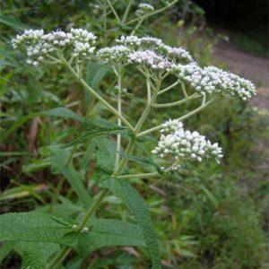 Natural Healing Room - Boneset (Eupatorium perfoliatum)