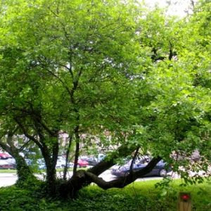 Natural Healing Room - Buckthorn Bark (Rhamnus frangula)