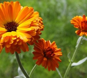 Natural Healing Room - Calendula Flowers (Calendula officinalis)