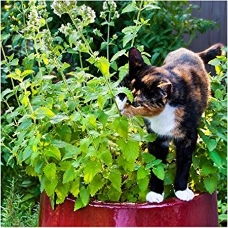 Natural Healing Room - Catnip Leaf (Nepeta cataria)