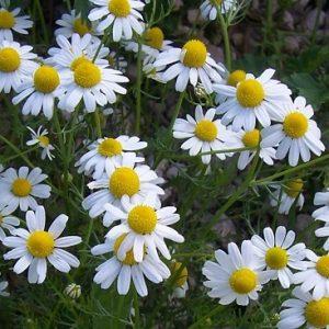 Natural Healing Room - Chamomile Flowers  (Matricaria Chamomilla)