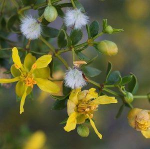 Natural Healing Room - Chaparral Leaf  (Larrea Tridentata)