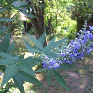 Natural Healing Room - Chaste Tree Berries (Vitex angus Castus)