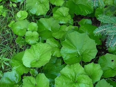Natural Healing Room - Coltsfoot Leaf (Tussilago farfara)