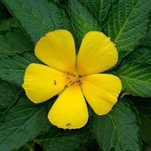 Natural Healing Room - Damiana Leaf (Turnera diffusa)