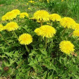 Natural Healing Room - Dandelion (Taraxacum Officinale)