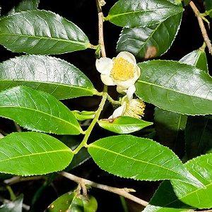 Natural Healing Room - Tea - Darjeeling (Camellia sinensis)
