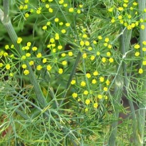 Natural Healing Room - Dill (Anethum graveolens)