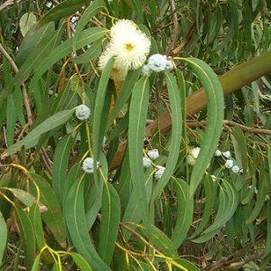 Natural Healing Room - Eucalyptus Leaf (Eucalyptus Globulus)