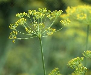 Natural Healing Room - Fennel Seed (Foeniculum vulgare)