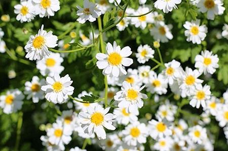 Natural Healing Room - Feverfew Herb (Tanacetum parthenium)