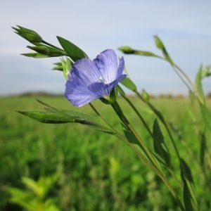 Natural Healing Room - Flaxseed (Linum usitatissimum) - Certified Organic