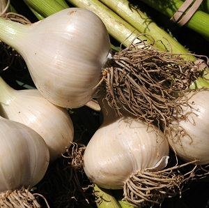 Natural Healing Room - Garlic (Allium sativum)
