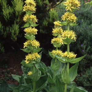 Natural Healing Room - Gentian Root (Gentiana lutea)