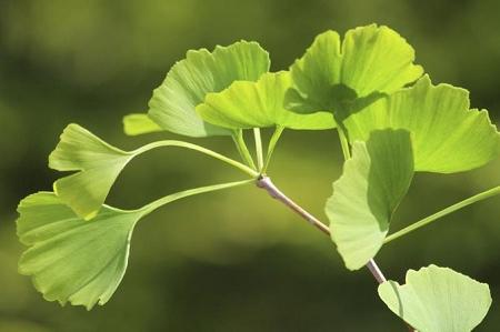 Natural Healing Room - Ginkgo Leaf (Ginkgo biloba)