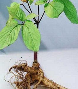 Natural Healing Room - Ginseng - Asian (Panax ginseng)