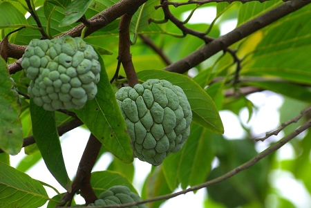 Graviola Fruit 4:1 Extract Powder (Annona muricata)