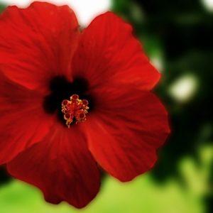 Natural Healing Room - Hibiscus Flower (Hibiscus sabdariffa)