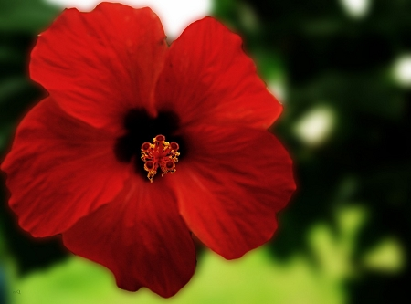 Hibiscus Flower Hibiscus Sabdariffa Natural Healing Room