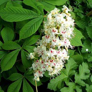 Natural Healing Room - Horse Chestnut (Aesculus hippocastanum)