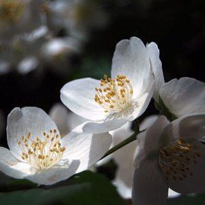 Natural Healing Room - Jasmine Flowers  (Jasminum officinale)