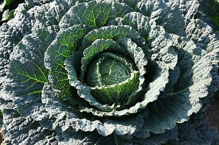 Natural Healing Room - Kale (Brassica oleracea)