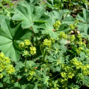 Natural Healing Room - Lady's Mantle Herb (Alchemilla xanthochlora)