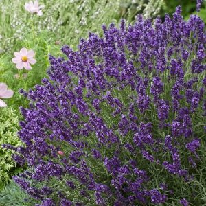 Natural Healing Room - Lavender Flowers (Lavandula angustifolia)