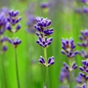 Natural Healing Room - Lavender Essential Oil (French)
