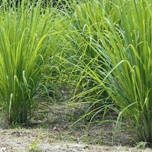 Natural Healing Room - Lemongrass (Cymbopogon citratus)