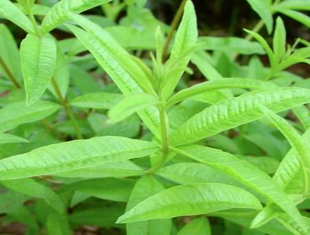 Natural Healing Room - Lemon Verbana (Lippia citroidora)