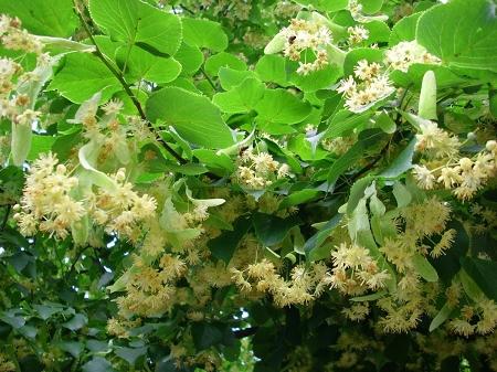 Natural Healing Room - Linden Flower (Tilia argentum)