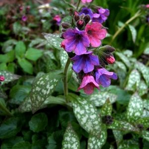 Natural Healing Room - Lungwort (Pulmonaria officinalis)