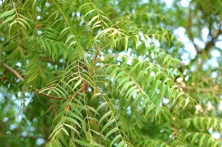 Natural Healing Room - Neem (Azadirachta indica)