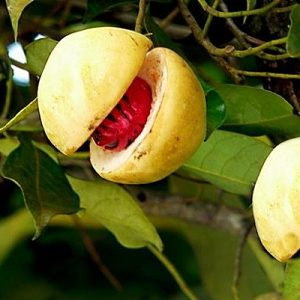 Natural Healing Room - Nutmeg (Myristica fragrans)