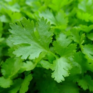 Natural Healing Room - Parsley (Petroselinum crispum)