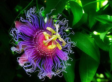 Natural Healing Room - Passion Flower Herb (Passiflora incarnata)