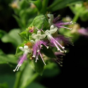 Natural Healing Room - Patchouli Herb (Pogostemon cablin)